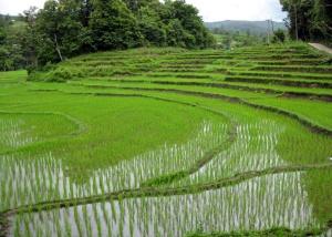 Rice_fields_Chiang_Mai